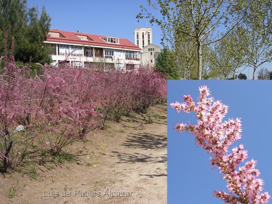 Tamarix-parviflora.jpg