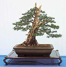 taxus-baccata-bonsai.jpg