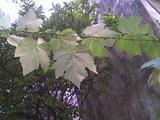 th_93092_Rama_de_parra_2_122_338lo.jpg