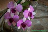 th_dendrobium_phalaenopsis_002_zpsd8a7b3f5.jpg