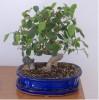 thumb_bonsai_2%7E0.jpg
