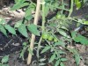 thumb_tomate%20verde.JPG
