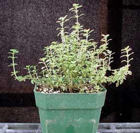 thymus-vulgaris-2.jpg