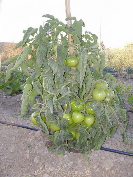 Tomatera-1.jpg
