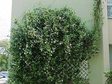 trachelospermum-jasminoides.jpg
