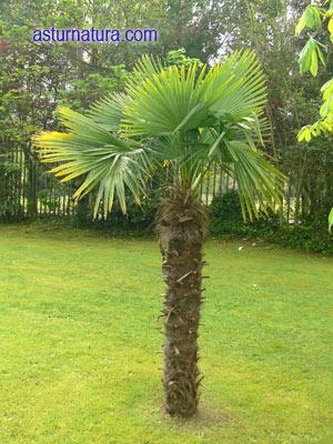 trachycarpus-fortunei.jpg