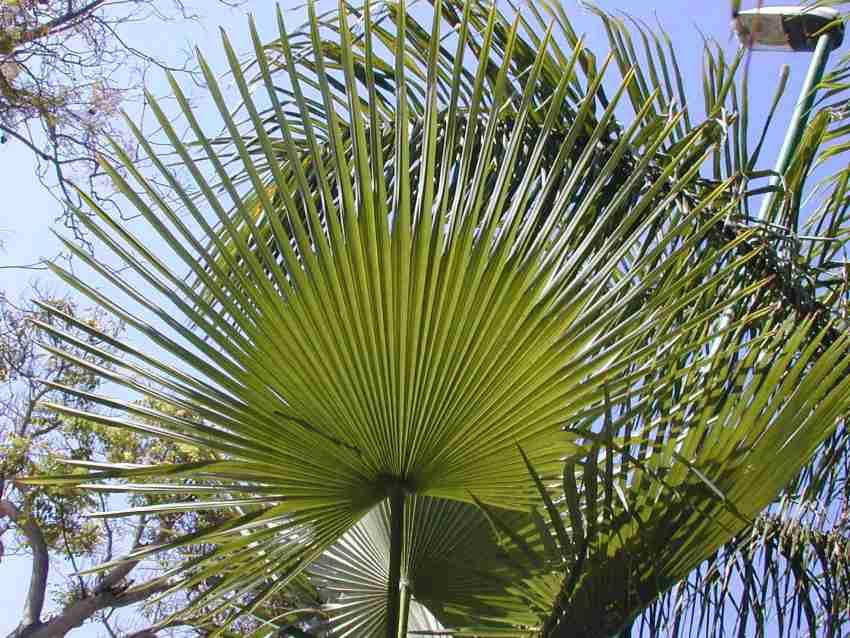 trachycarpus-martianus2.jpg