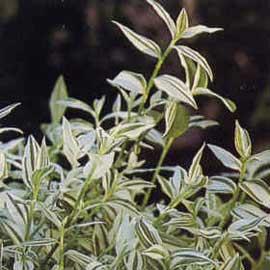 tradescantia-fluminensis.jpg
