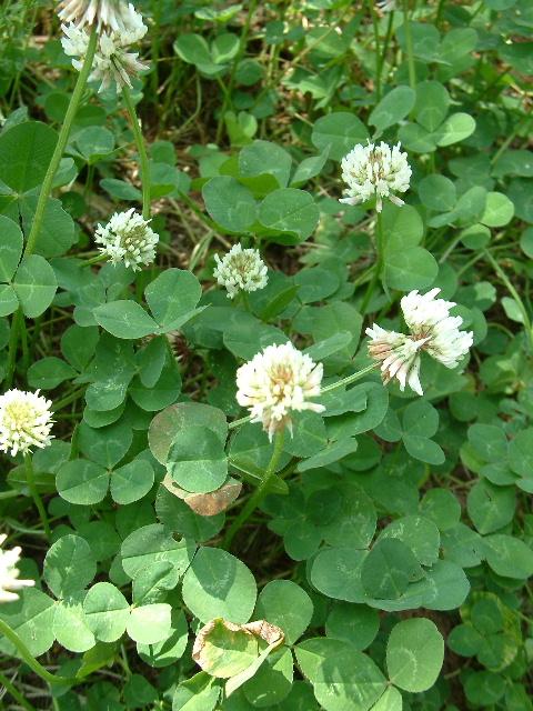 Trifolium%20repens%20Fl.jpg