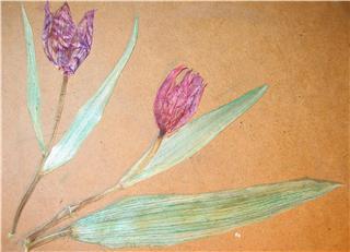 tulipan%20pintado.jpg