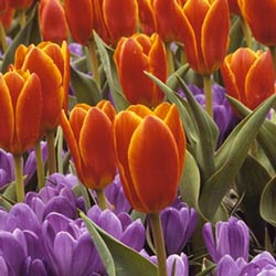 tulipan-rojos.jpg