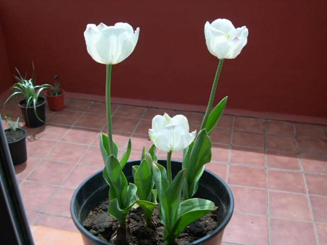 Tulipanes%20Blancos%20I.JPG