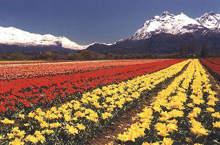 tulipanes1P.jpg