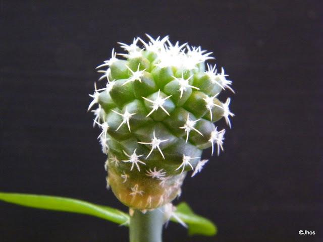 Turbinicarpus%20Lophophoroides%2020091017%20037.jpg