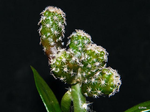 Turbinicarpus%20pseudomacrolele%20002%2020100330%20143.jpg
