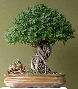 ulmus-parvifolia-bonsai.jpg