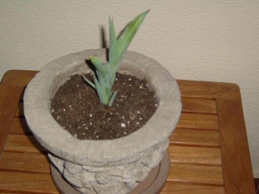 ultima foto tulipan.JPG