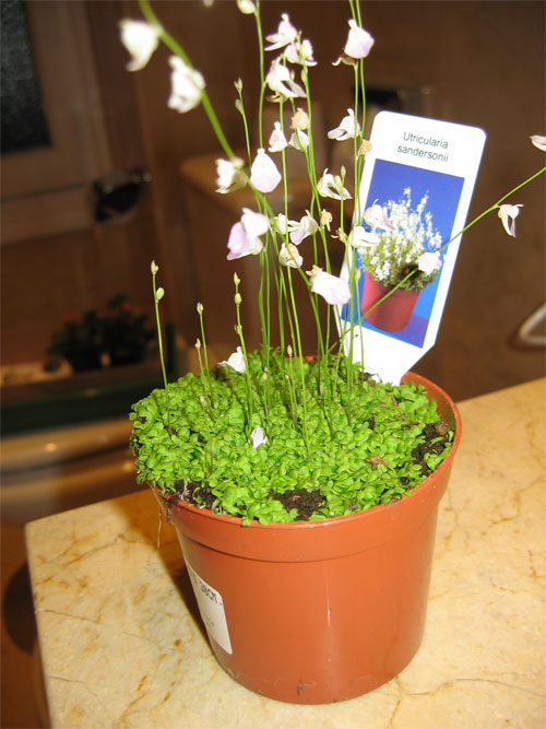 Utricularia-Sandersonii.jpg