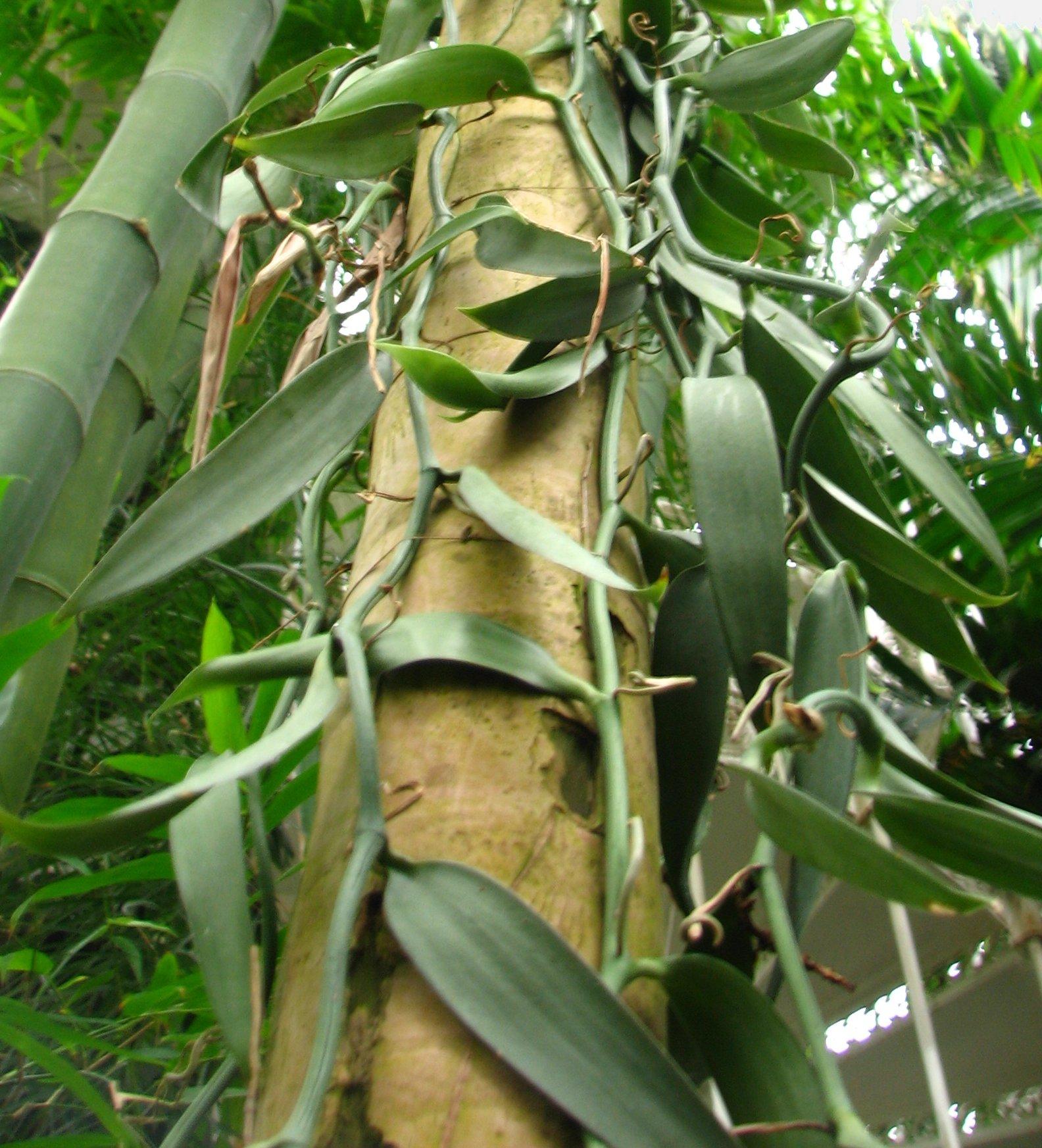Vanilla_planifolia3.jpg