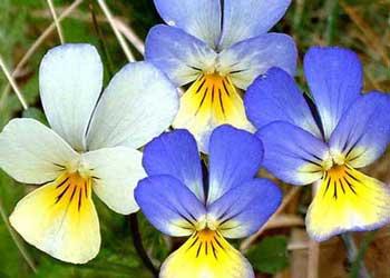 viola-tricolor.jpg