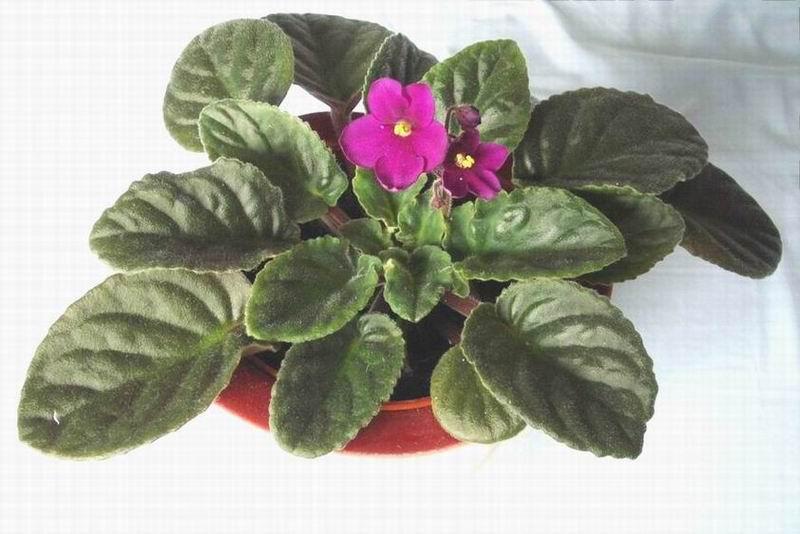 Violetaafricana.jpg