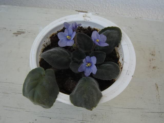 Violetas004.jpg