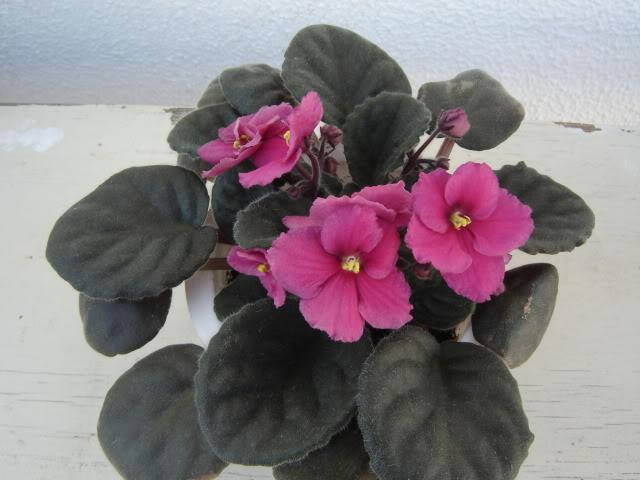 Violetas005.jpg