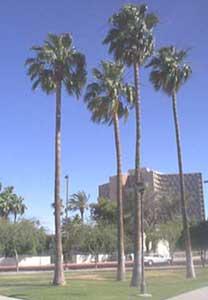 washingtonia-robusta-2.jpg