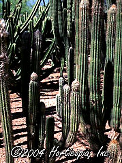 webpilosocereus-chrysacanth.jpg
