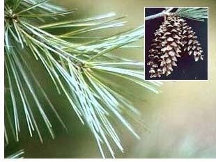 white_pine.jpg