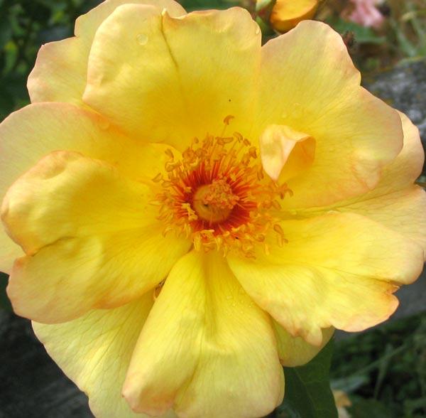 windrush-rose-closeup.jpg