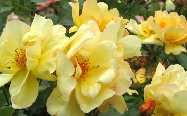 windrush-rose-cluster.jpg