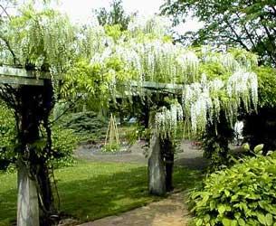 wisteria-chinensis-alba.jpg