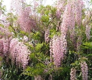 wisteria-floribunda-pink-ice_01.jpg