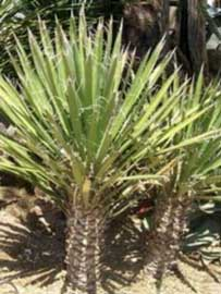 yucca-filifera.jpg