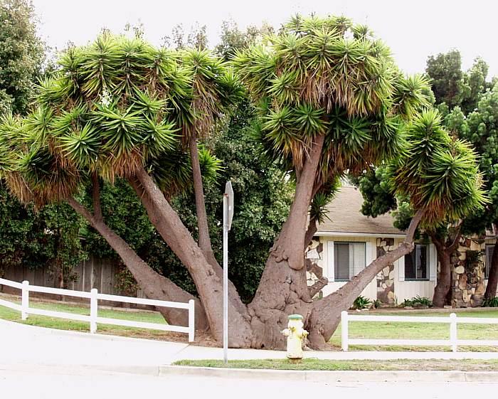 yucca_elephantipes1.jpg