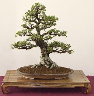 zelkova-serrata-bonsai-2.jpg