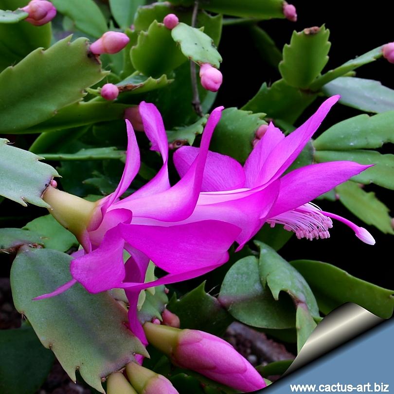 Zigocactus_violet_810.jpg