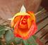 Rosa5