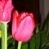 florecilladeltulipan