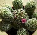 pequeña cactus